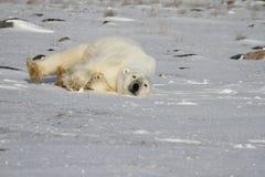 Полярный медведь, Ursus Maritimus, свертывая вокруг снег на солнечный день стоковые изображения rf