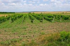 Поля виноградины Виноделие аграрная культура стоковое фото rf