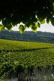 Поля виноградины винодельни из-под тени дерева стоковые фото