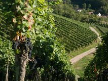 Поля виноградины с голубым небом вал времени земной хлебоуборки сада яблока возмужалый стоковая фотография