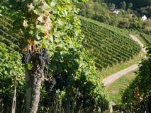 Поля виноградины с голубым небом вал времени земной хлебоуборки сада яблока возмужалый стоковые изображения