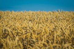 Поля зерна в временени стоковая фотография rf