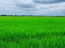 Поля и небо риса стоковые фотографии rf