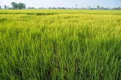 Поля и солнечность риса Стоковые Фотографии RF