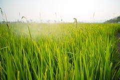 Поля и солнечность риса Стоковое Изображение RF