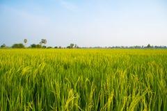 Поля и солнечность риса Стоковое Изображение