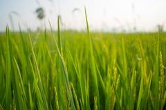 Поля и солнечность риса Стоковые Фото