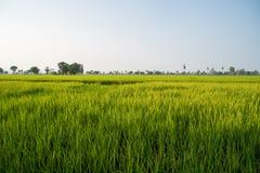 Поля и солнечность риса Стоковое Фото