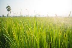Поля и солнечность риса Стоковые Изображения