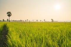 Поля и солнечность риса Стоковая Фотография