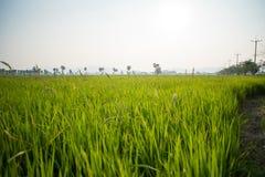 Поля и солнечность риса Стоковые Изображения RF
