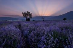 Поля лаванды Красивейшее изображение поля лаванды Ландшафт захода солнца лета, сравнивая цвета Темные облака, драматический заход Стоковое фото RF