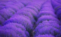 Поля лаванды Красота пурпурной лаванды стоковое изображение rf