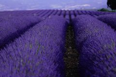 Поля лаванды увиденные от трутня Стоковые Фотографии RF
