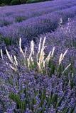 Поля лаванды южной Франции Стоковое фото RF