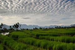 Поля неочищенных рисов в Индонезии на острове Суматры стоковое изображение