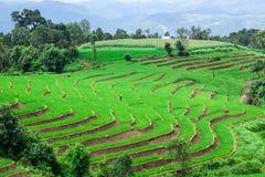 Поля неочищенных рисов стоковое фото