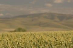 поля приближают к пшенице pendleton Стоковое Изображение