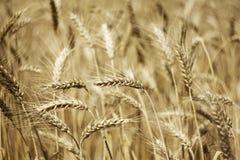 Поля пшеницы Стоковые Изображения RF