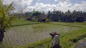 Поля риса Бали Индонезии Стоковая Фотография