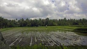 Поля риса Бали Индонезии Стоковые Изображения