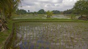 Поля риса Бали Индонезии Стоковые Изображения RF