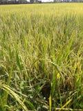 Поля риса в Таиланде Стоковые Фотографии RF