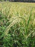 Поля риса в Таиланде Стоковые Фото