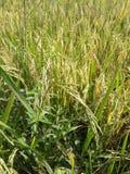 Поля риса в Таиланде Стоковая Фотография
