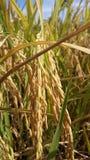 Поля риса в Таиланде Стоковое Фото