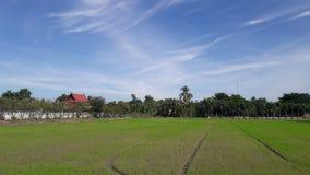 Поля риса в Таиланде Стоковое Изображение