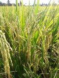 Поля риса в Таиланде Стоковые Изображения