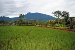 Поля риса, западная Ява Индонезия стоковая фотография