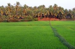 Поля риса на предпосылке рощи ладони, Goa, Индии стоковая фотография