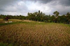 Поля риса около Ubud Регентство Gianyar тюкованный Индонезия стоковые изображения