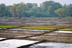 Поля риса разделенные на много серий Стоковое Изображение