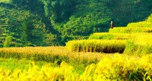 Поля риса Стоковые Изображения