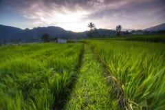 Поля риса Стоковое фото RF