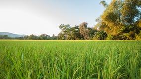 Поля риса Стоковая Фотография RF