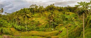 Поля риса Tegallalang в Ubud, Бали, Индонезии стоковое изображение