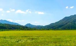 Поля рисовых полей в городской местности вокруг централи Южной Кореи с горой стоковая фотография rf