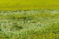 Поля рисовых полей в городской местности рис желт и готов сжать стоковая фотография rf