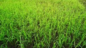 Поля рисовых полей Стоковые Фотографии RF