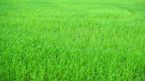 Поля рисовых полей Стоковые Изображения RF