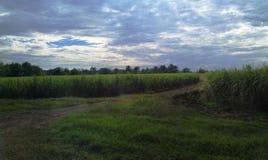 Поля сахарного тростника стоковые изображения