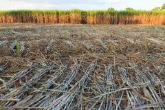 Поля сахарного тростника Стоковые Фотографии RF