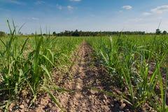 Поля сахарного тростника Стоковое Изображение