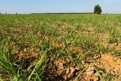 Поля сахарного тростника Стоковое Изображение RF