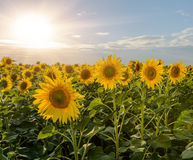 Поля солнцецвета во время захода солнца Смесь цифров восхода солнца над полем золотых желтых солнцецветов Стоковые Изображения RF