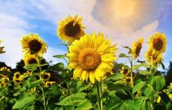 Поля солнцецвета и ясные небеса стоковое изображение rf